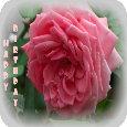 Birthday Rose.