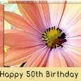 50th Birthday Gerbera Daisy Flower.