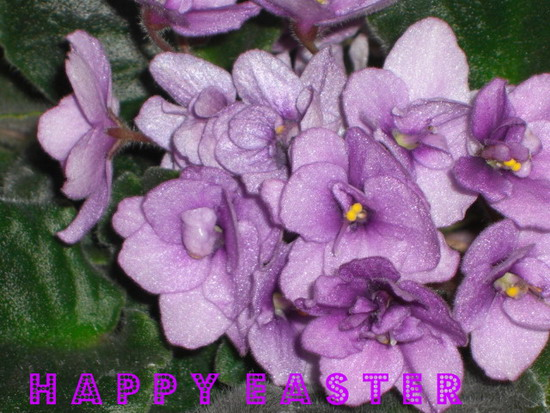 Easter Violets.