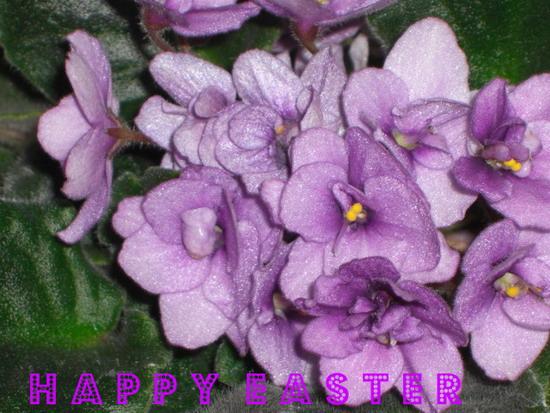 Easter Violets.