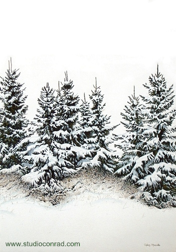 Spruce Trees In Winter.