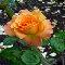 Forever Rose.