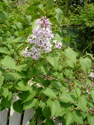 Lilac In May.