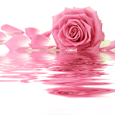 Pink Rose For Mom.