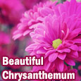 Beautiful Chrysanthemum!