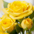Home : Events : Festival of Roses (CA) 2020 [Sep 3 - 6] - Symbol Of Friendship!