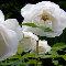 Peace Flowers.