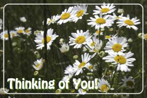 Thinking Of You Daisies.