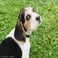 Beagle Puppy Dog - Thinking Of You.