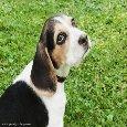 Beagle Puppy Dog - Thinking Of You.