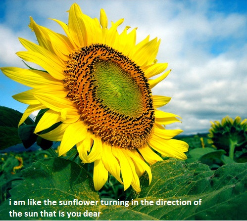 Love U Like The Sunflower.