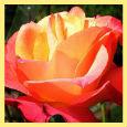 My Beautiful Rose.