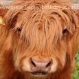 Happy Birthday Highland Cow Style!