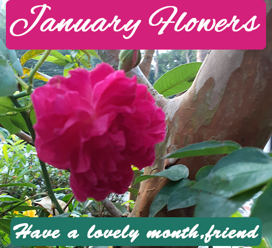 January Flowers, Rose New...